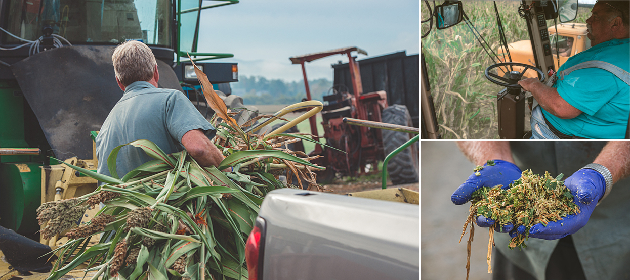 Clockwise: Don hand inspecting some of the feed. Harvesting the feed crop. Sweet yummy sorgum.