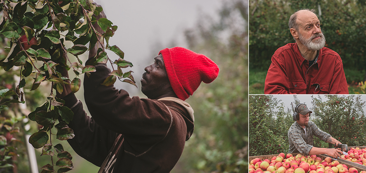 Clockwise from the left: The ripe ones are the good ones. Aaron in the fields. Silas marking some Honey Crisps.