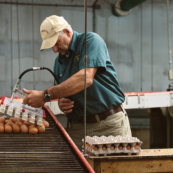 GATHERING  Our eggs are gathered and packed fresh as soon as we place the order.