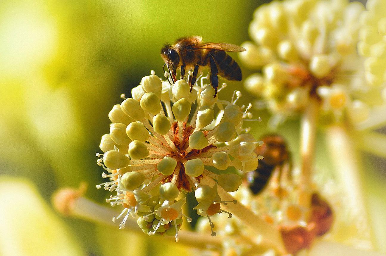 Honeybee pollenating flower